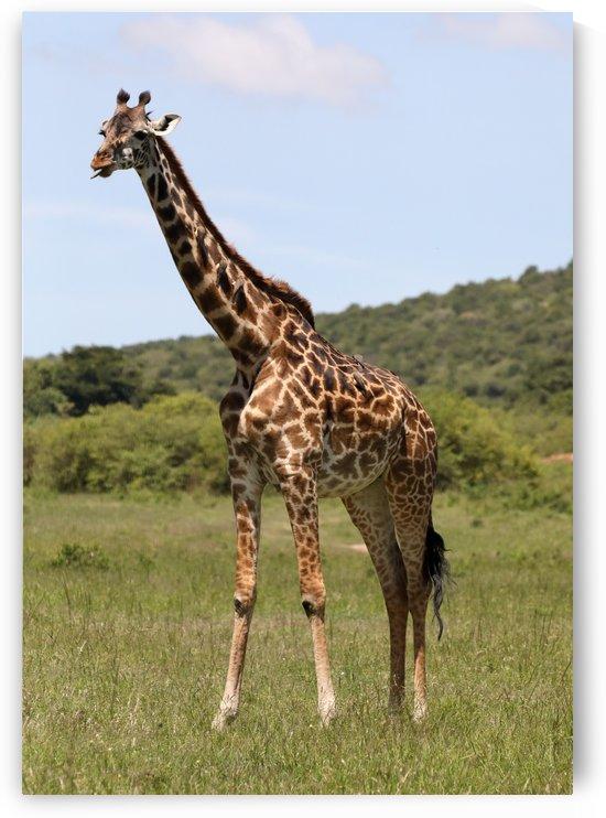 Classic Giraffe by Eliot Scher