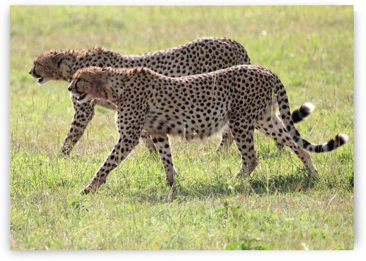 Two Cheetah by Eliot Scher