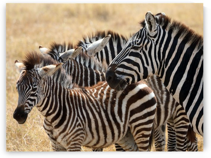 Zebra Time by Eliot Scher