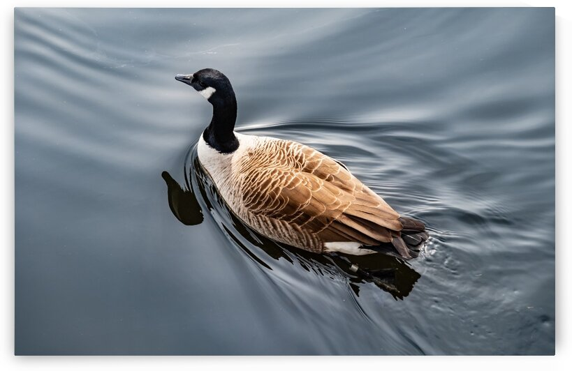 Canadian Goose on the Charles by Dave Therrien