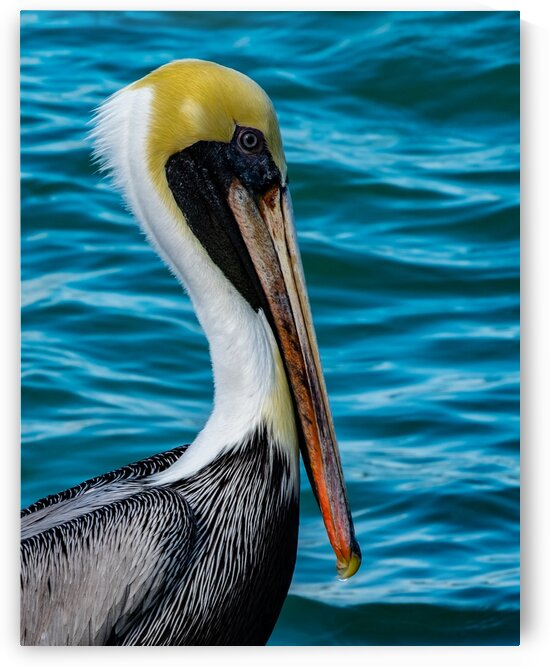 Fort Pierce Pelican 4 by Dave Therrien