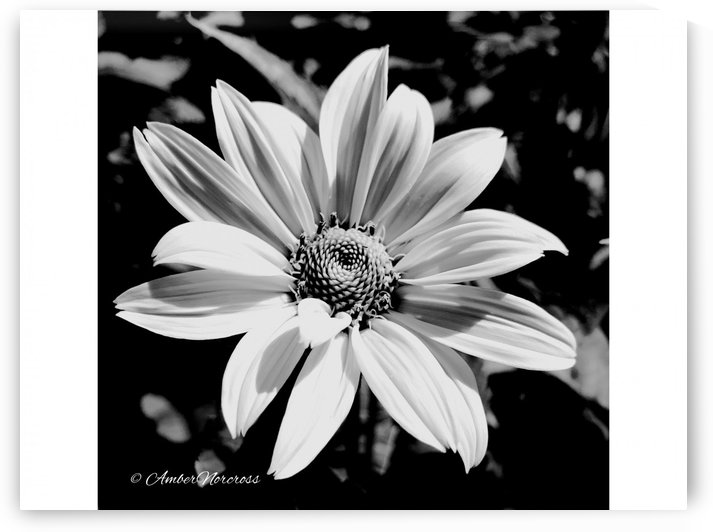 Daisy in bw by Amber Norcross