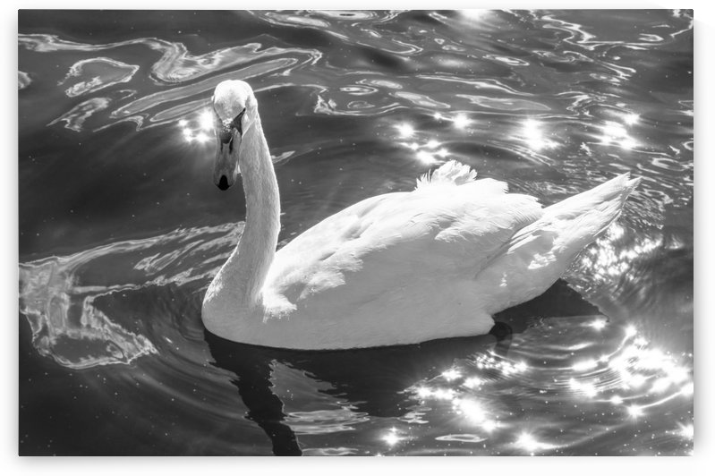 Sparkle Swan BW by Rob Nelms