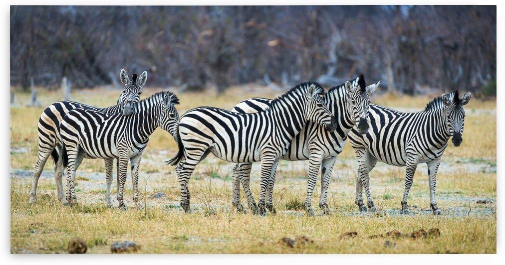 zebra 01 by Sylvain Girardot