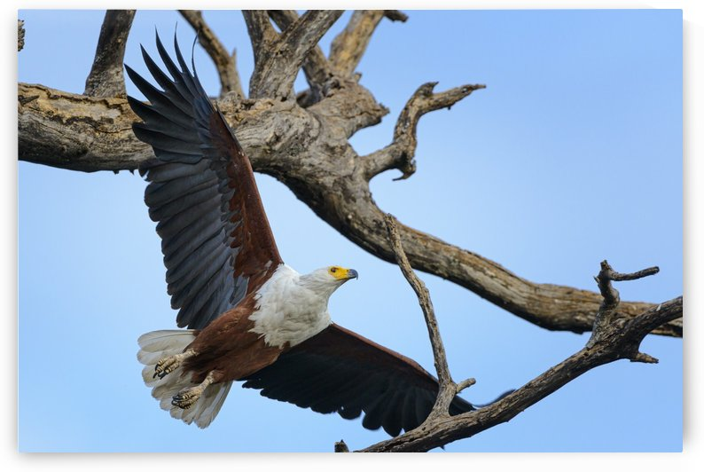 african fish eagle by Sylvain Girardot