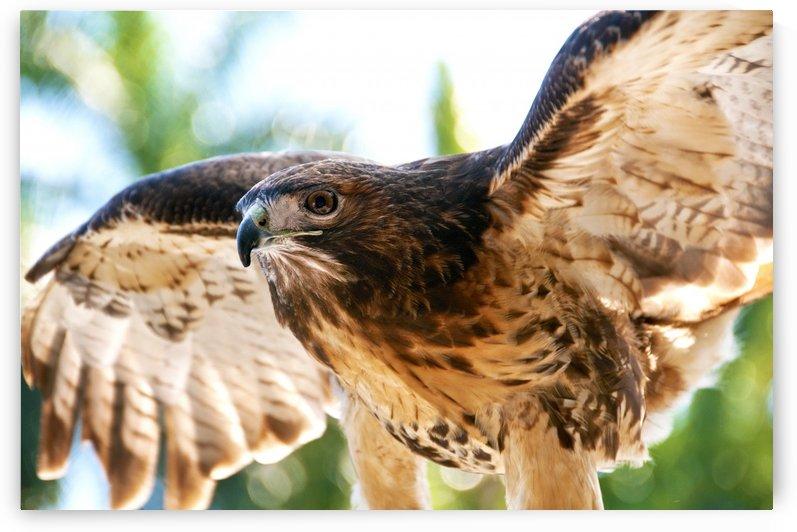 Red-tailed Hawk 187 by Matthew Lerman