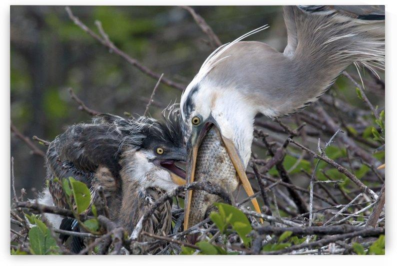 Great Blue Heron Feeding Young 95 by Matthew Lerman