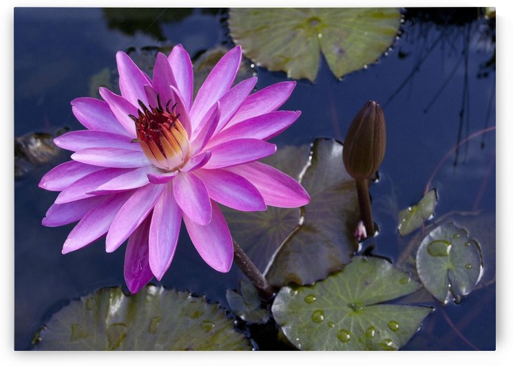 Hawaiian Lilly Pad by Eliot Scher