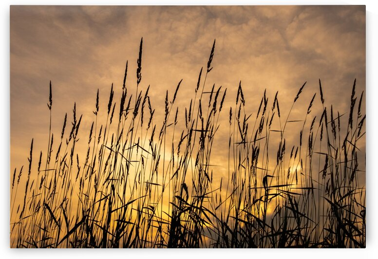 Sunset Grasses by Dave Therrien