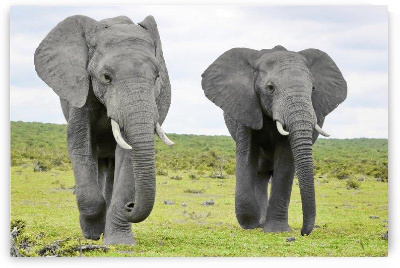 Elefanten ck 43 by Thula-Photography