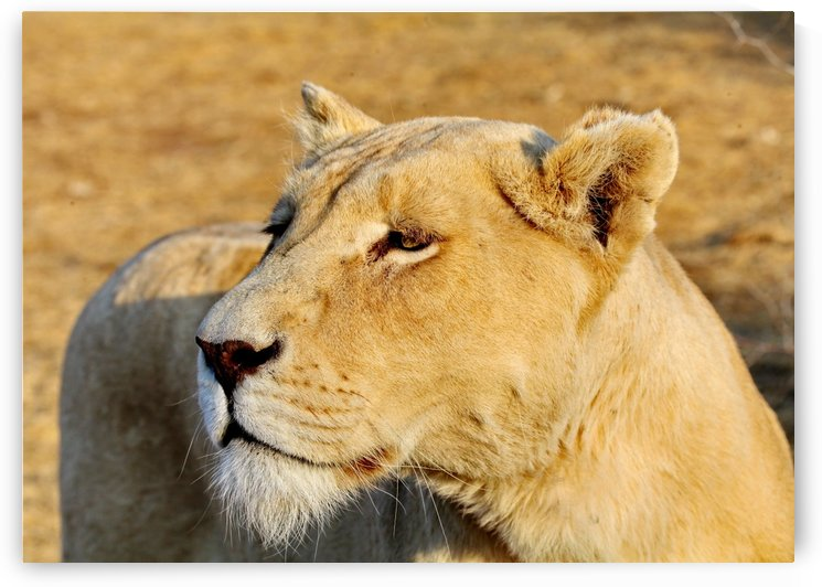 White Lioness Portrait 4882 by Thula-Photography