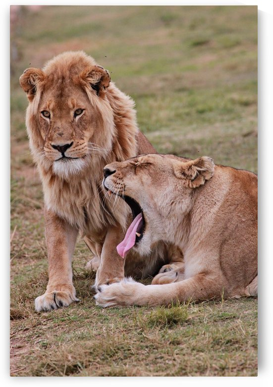 Lions  by Thula-Photography