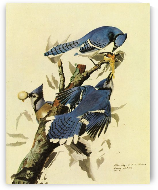 Blue Jay by John James Audubon