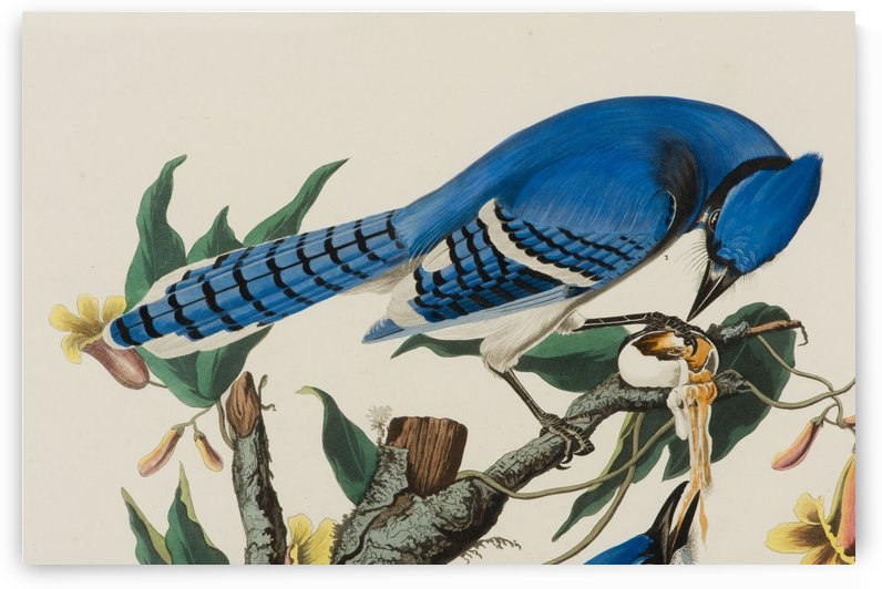 Blue Jay familly by John James Audubon