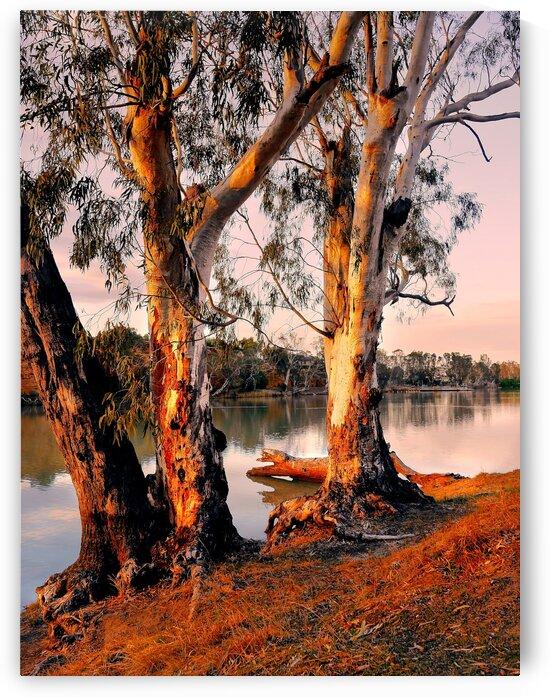 Murray River Gums by Lexa Harpell