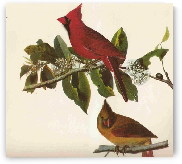 Cardinal bird by John James Audubon