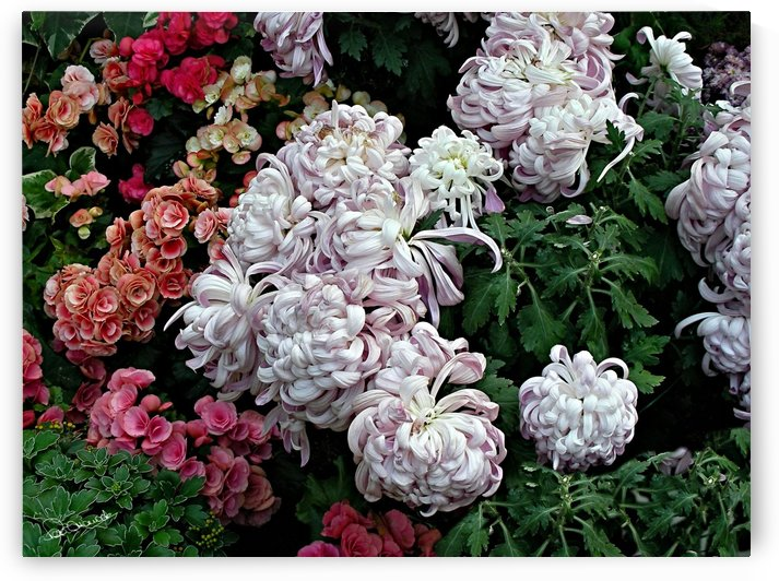 Mums and Begonias by Shadow and Form