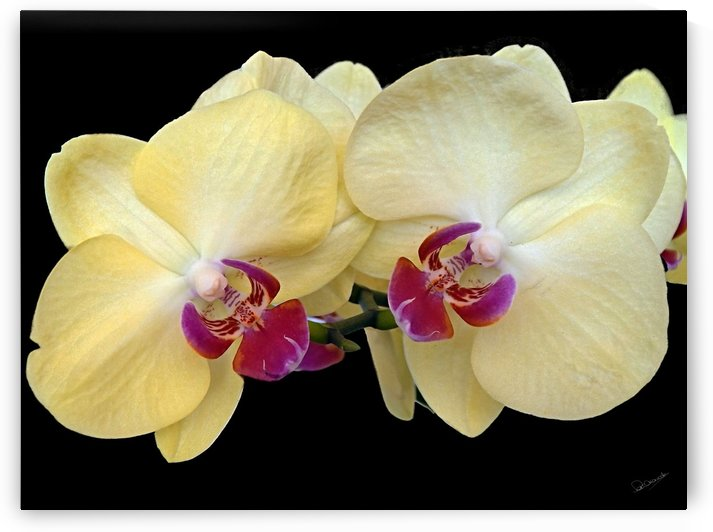 Asian Orchid Pair by Shadow and Form