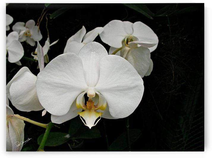 White Orchid Study by Shadow and Form