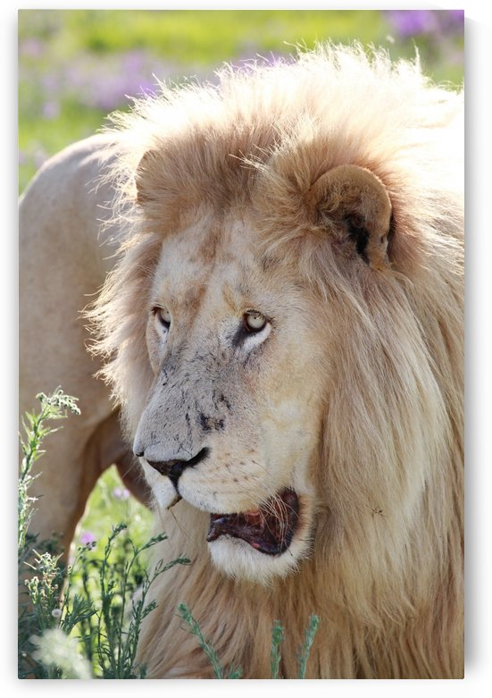 White Lion Male 7930.2 by Thula-Photography