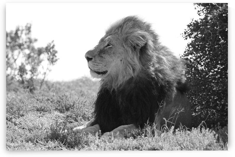 Lion Male 9256 by Thula-Photography