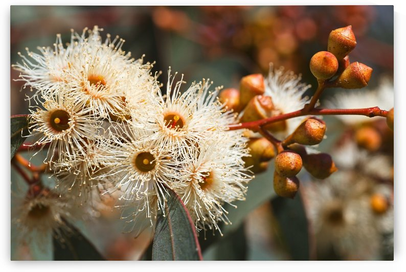 Spring Eucalyptus Flowers by Joy Watson