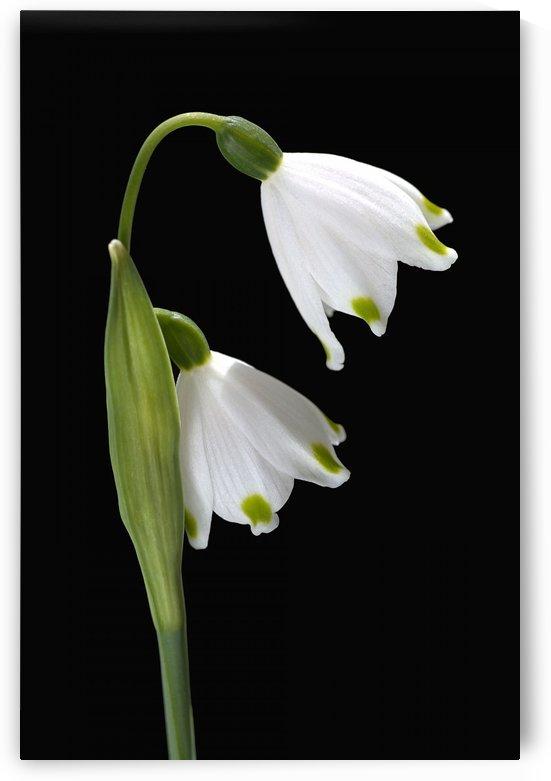 Spring Snowdrop Flowers by Joy Watson