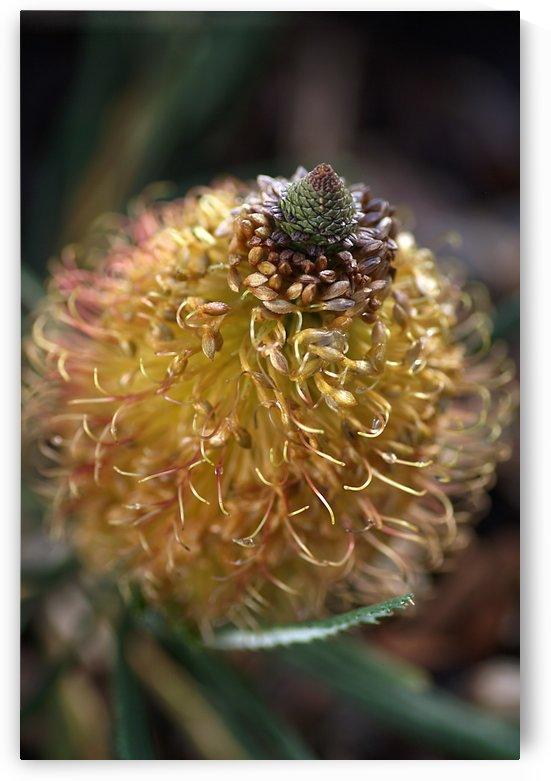 Banksia Flower by Joy Watson