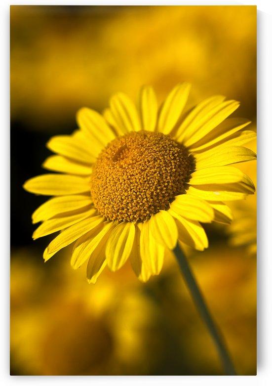 Rich Golden Daisy by Joy Watson