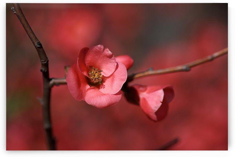 Flowering Quince by Joy Watson