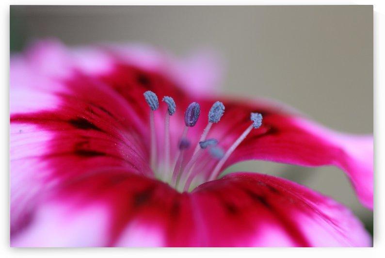 Dianthus Flower by Joy Watson