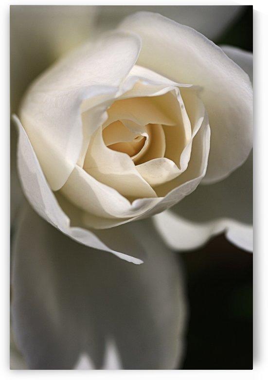 Soft White Rose by Joy Watson