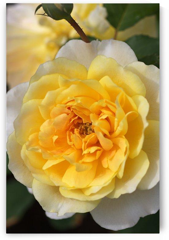 Yellow Rose by Joy Watson