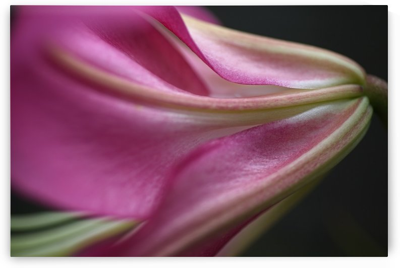 Side View Of Lily by Joy Watson