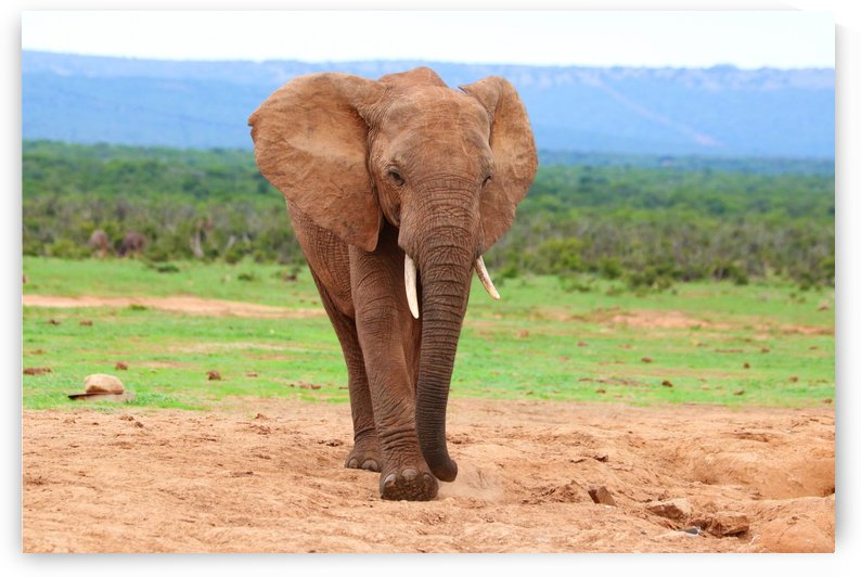 Elephant Bull in Addo 9892 by Thula-Photography