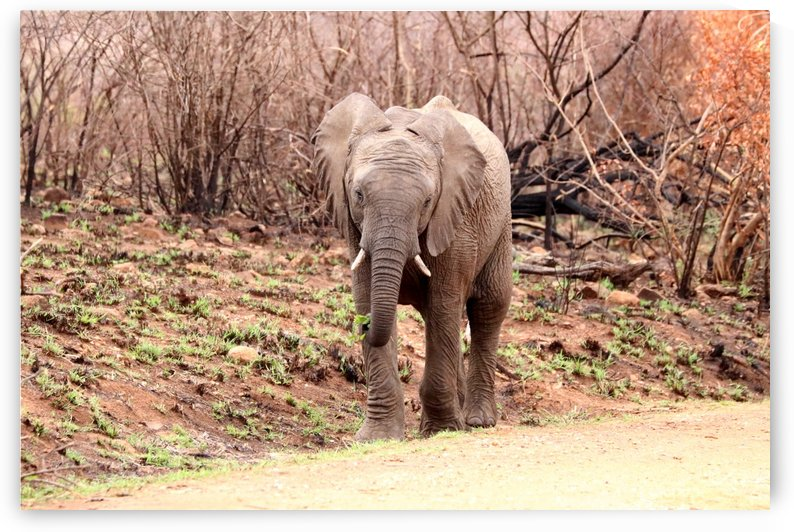 Young Elephant 6023 by Thula-Photography