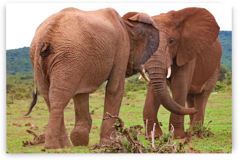 Two Elephants 26 by Thula-Photography