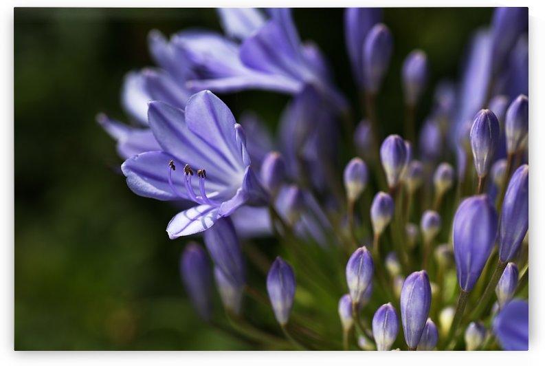 Agapanthus Blue by Joy Watson