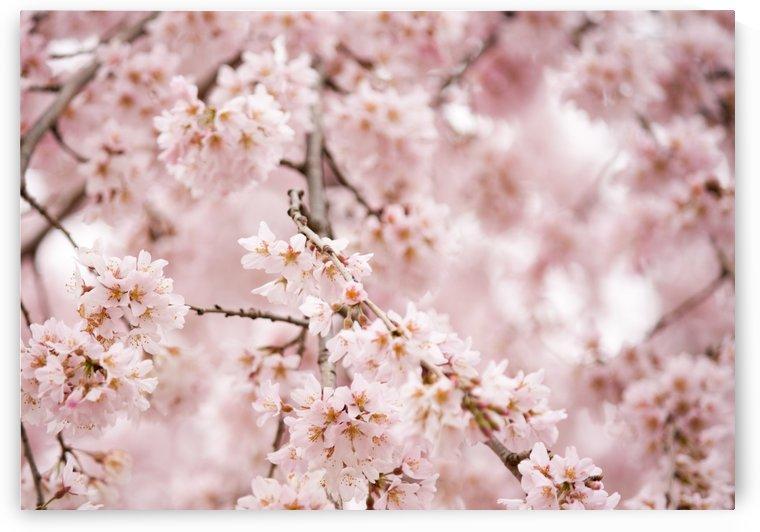 Cherry Blossom Festival by Tiffany Ross