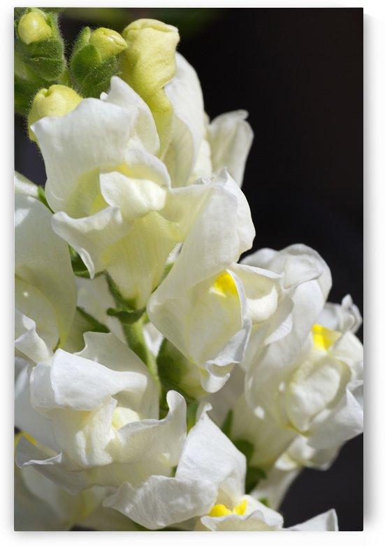 White Snapdragon Flowers  by Joy Watson