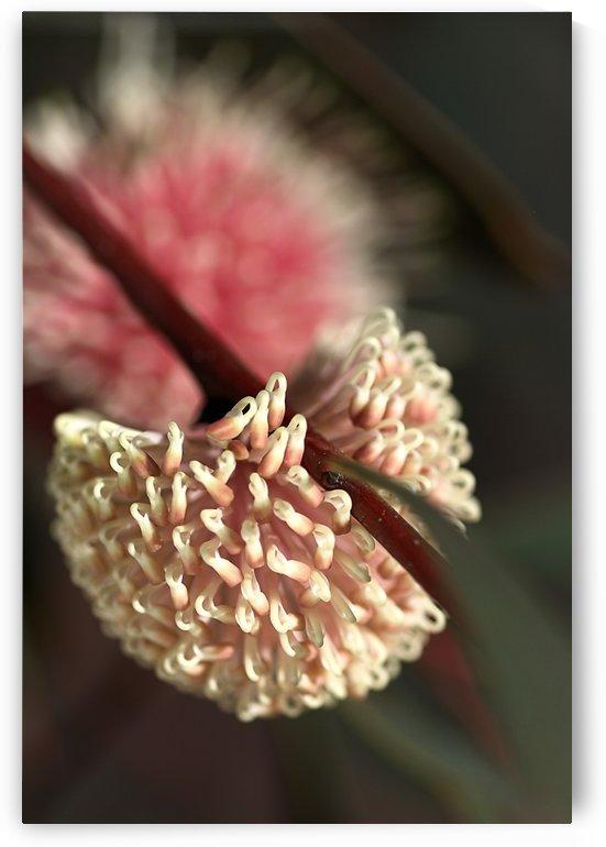 Hakea Flower by Joy Watson