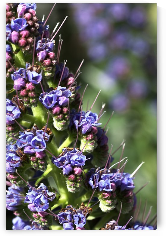 Veronica Flower by Joy Watson