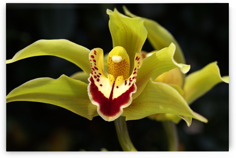Green Orchid by Joy Watson