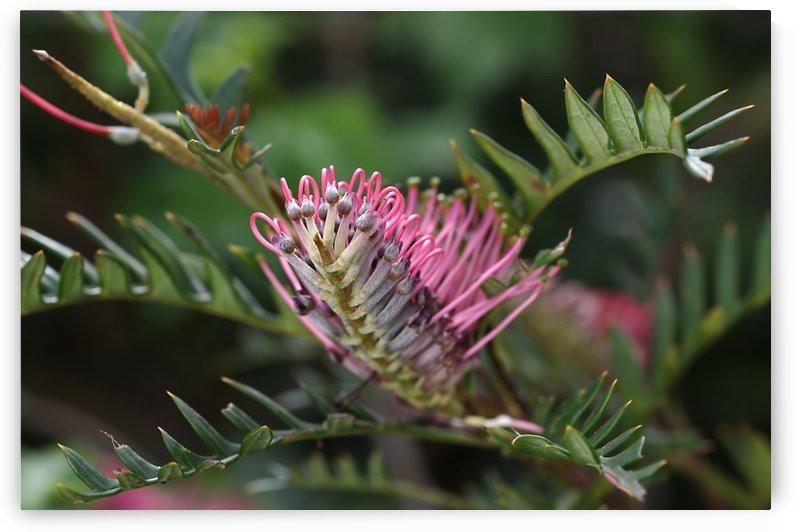 Grevillea Flower In Pink by Joy Watson