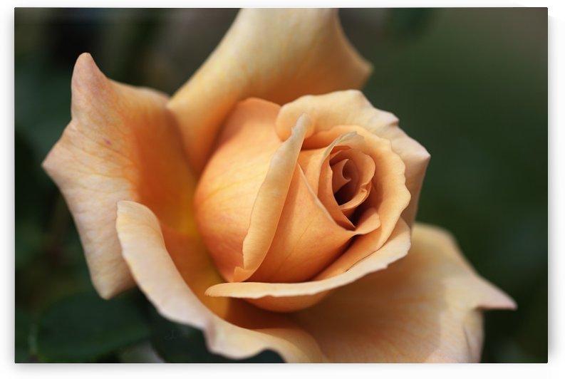 Julias Rose by Joy Watson