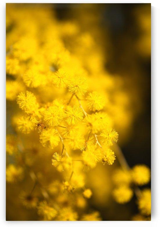 Wattle Tree Flowers by Joy Watson