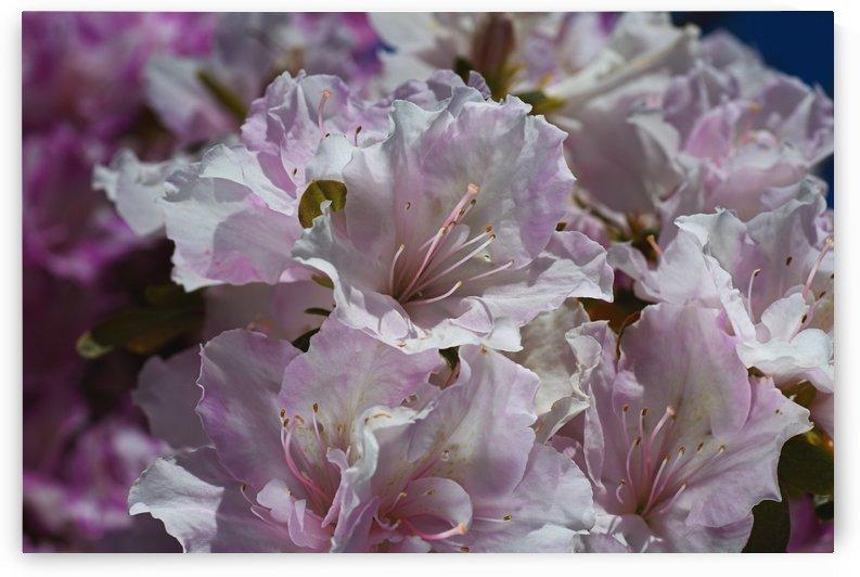 Azaleas Pinks by Joy Watson