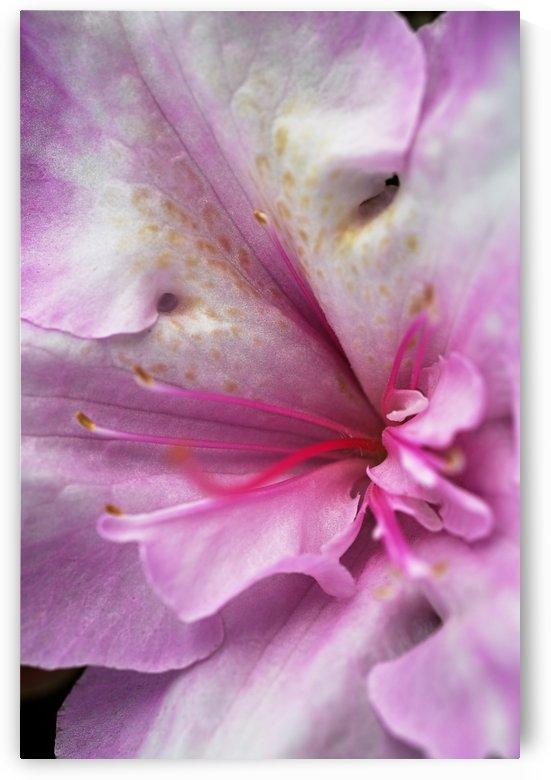 Azaleas Pink Heart by Joy Watson