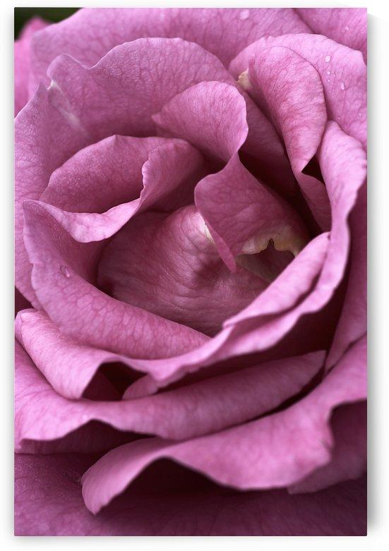Mauve Rose by Joy Watson