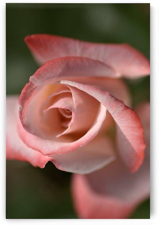 Apricot Rose by Joy Watson